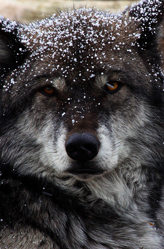 Gray Wolf in Snow, West Yellowstone, MT 2010