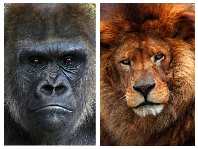 Silverback Gorilla Vs Lion | www.imgkid.com - The Image ...