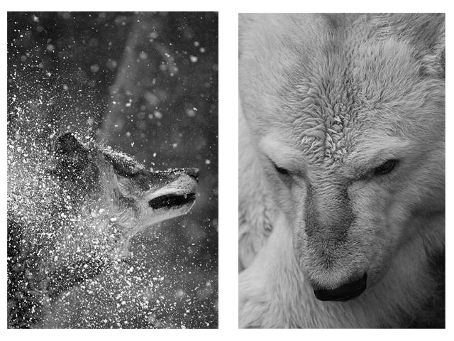 Wolf shake