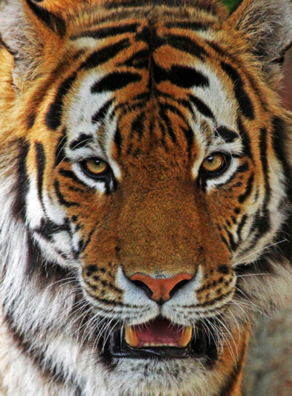 Amur Tiger_edited-1