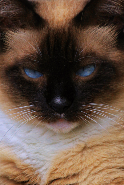 Cat Siamese Blue Eyes _6953