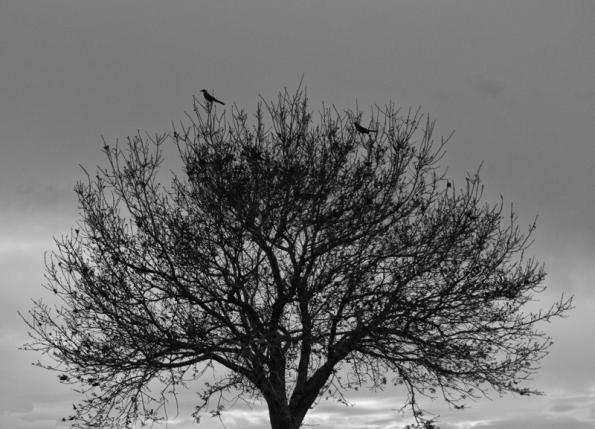 Birds in Tree BW_1179