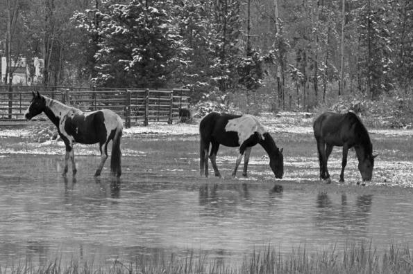 Three Horses in Snow fix_3438 800w