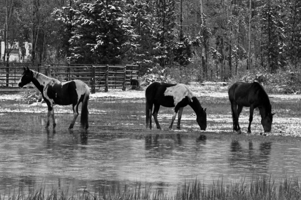 Three Horses in Snow Nik 800w