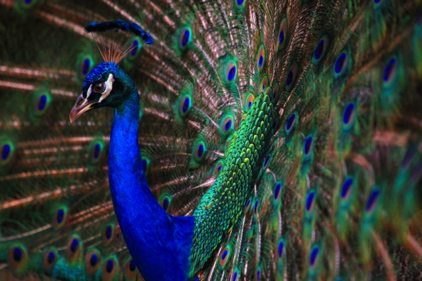 Peacock 8165_profile horiz 800w