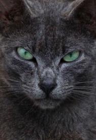 5 Feral Cat Gray cat Green Eyes FINAL_0417_