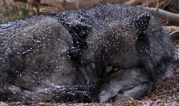 61 Prone Wolf