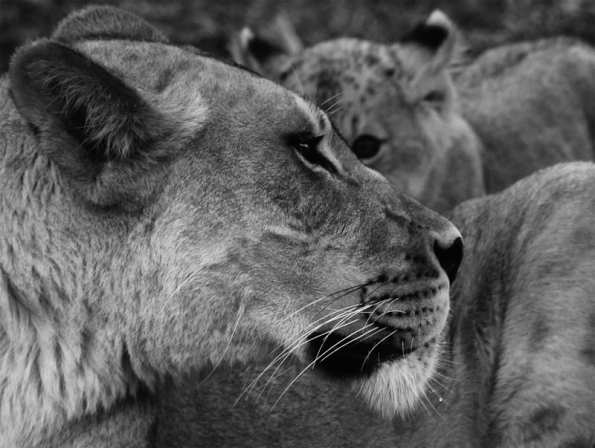 Lioness and Cub BW crop 2 800W_0700