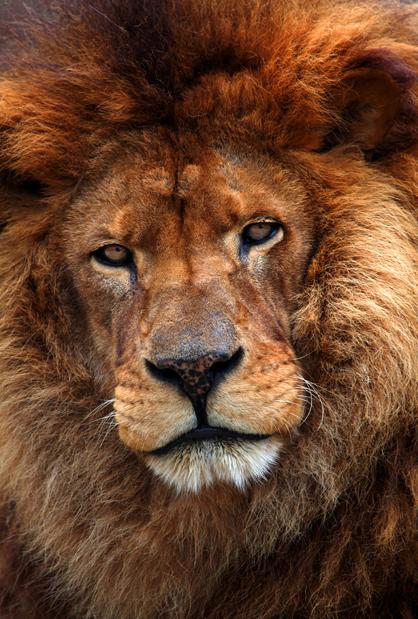 Old_Lion