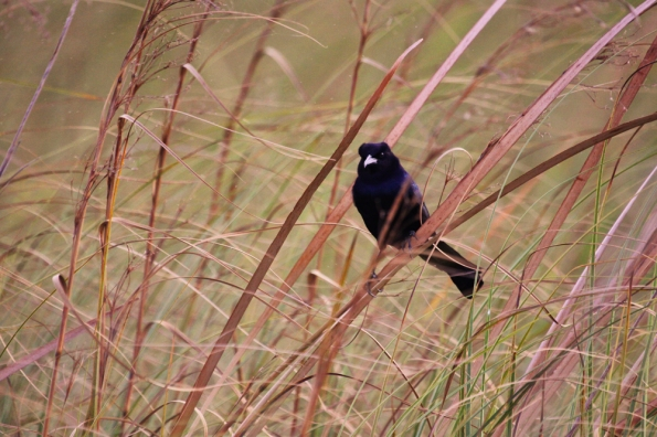 Bird in Sawgrass 5344