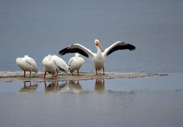 White Pelicans_0261