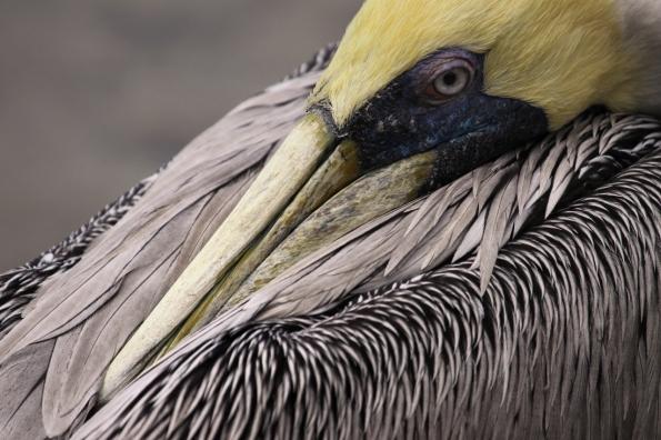 Pelican closeup_4663 1280