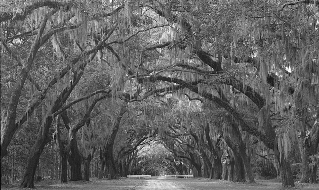 Wormsloe Trees