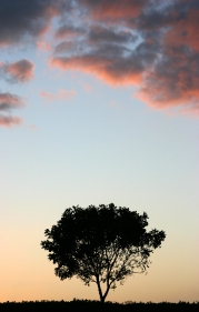 Lone Tree at Sunset crop