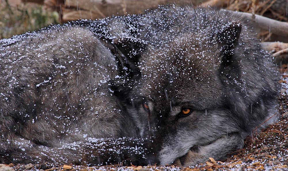 Prone Wolf 1000w.jpg