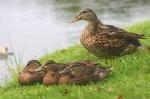 1 Ducks NC New Bern Ducks 1um25282